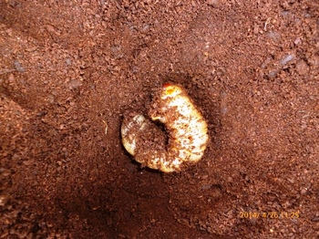 うっかり掘り出した前蛹.JPG