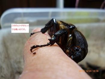 鋭いカブトムシの爪.JPG